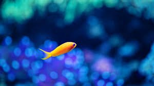 Descargar 1600x900 Azul marino peces de acuario bokeh fondo de ...