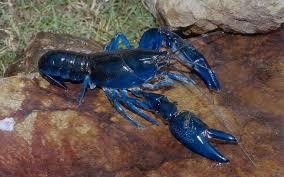 Langosta Azul Agresiva