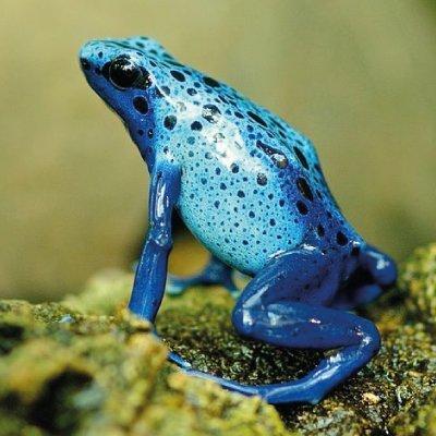 rana de color azul