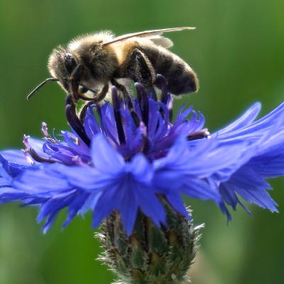 flor aciano con abeja