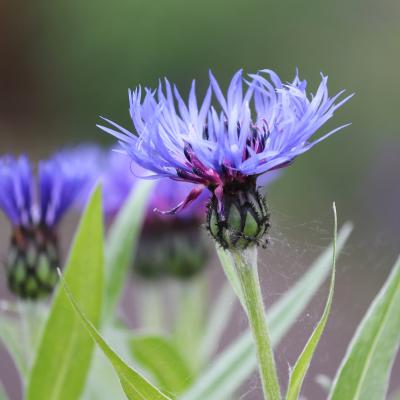 flor aciano con tela de araña