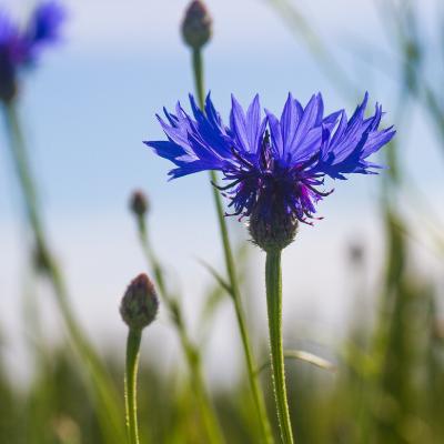 flor aciano con capullos