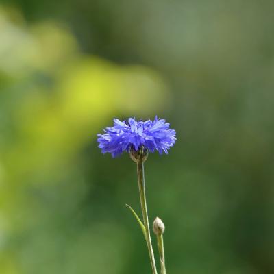 flor aciano pequeña