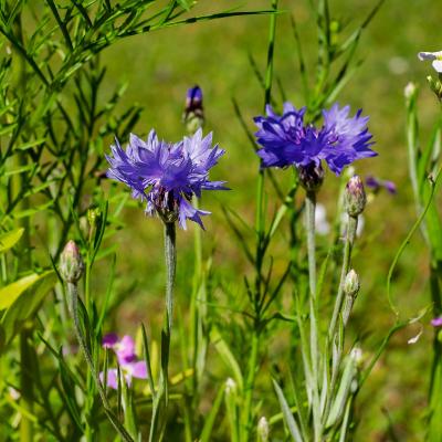 flor aciano con el sol