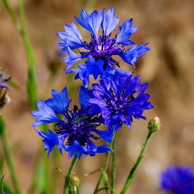 flor aciano en tres