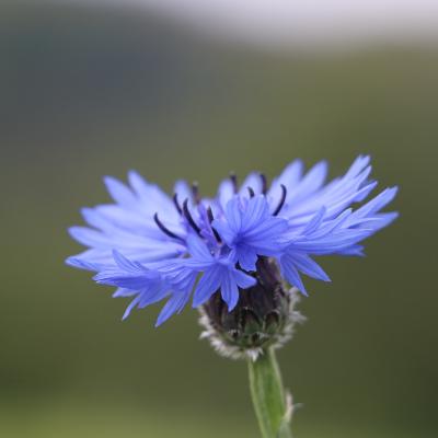 flor aciano desenfoque