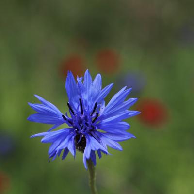 flor aciano con puntas