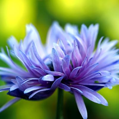 flor aciano en el centro