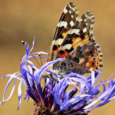 mariposa en flor de aciano
