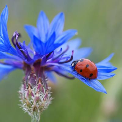 mariquita en flor de aciano